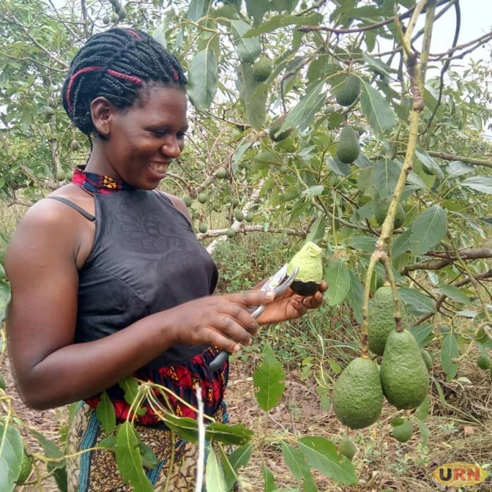 Demand for Avocado Soars as Overseas Market Opens :: Uganda Radionetwork